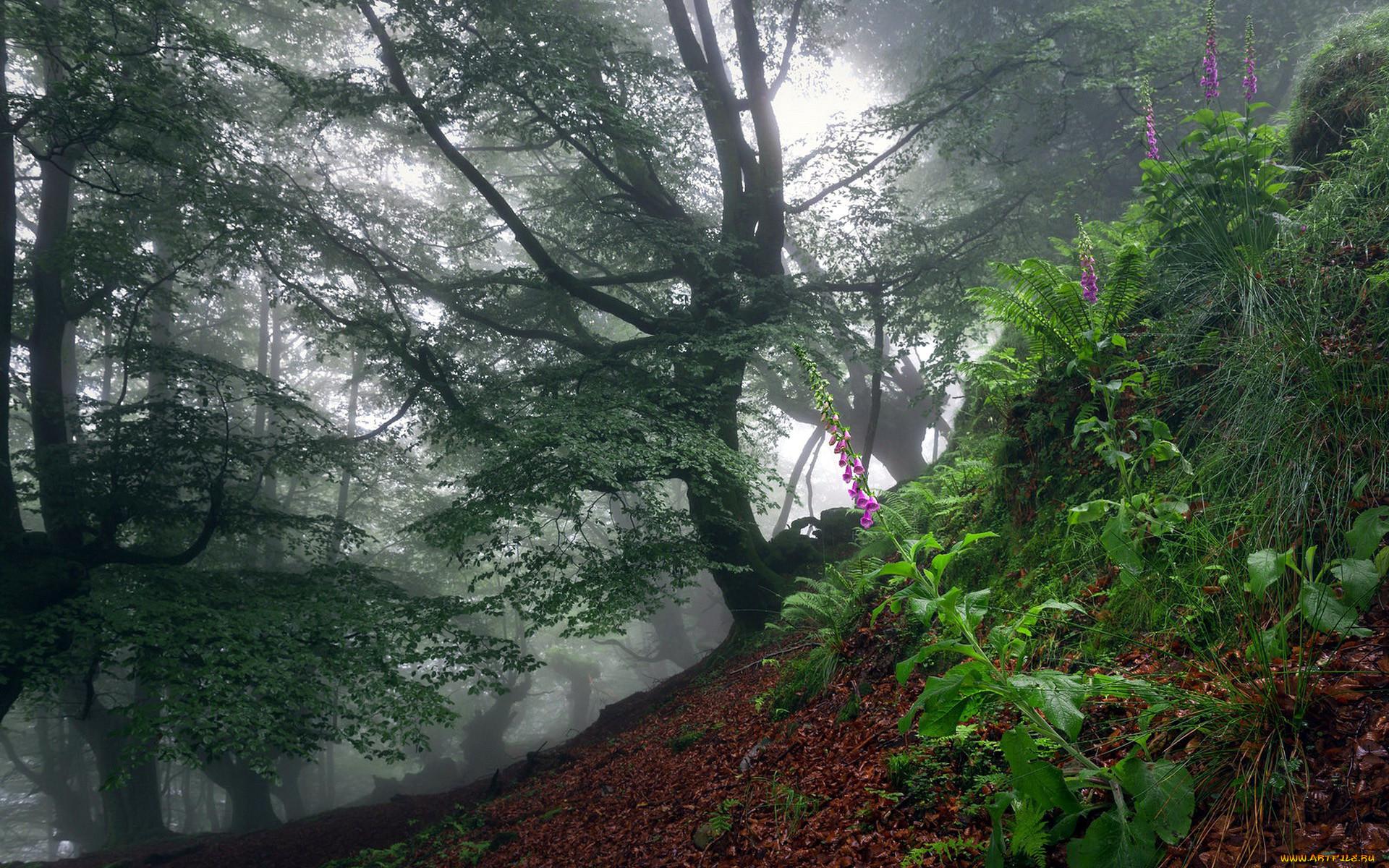природа, лес, деревья, туман